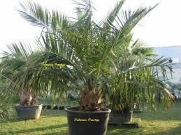 prix des palmiers exterieur jubaea chilensis vente des plus beaux palmiers et cocotiers d