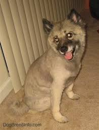 Dogs That Dont Shed Keeshond by Keeshond Dog Breed Information And Pictures
