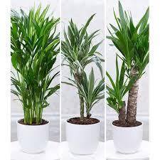 zimmerpflanzen mix palme 3 pflanzen