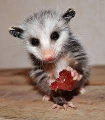 Planet Possum - Home | Facebook All About Opossums Wildlife Rescue And Rehabilitation Easy Ways To Get Rid Of Possums Wikihow Animals Articles Gardening Know How 4 Deter From Your Garden Possum Hashtag On Twitter Removal Living In Sydney Opossum Removal Services South Florida Nebraska Rehab Inc Help Nuisance Repel Gel Barrier Sealant For Squirrels And Raccoons To Of Terminix