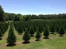 Cedar Hill Farm Christmas Tree