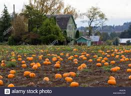 Pumpkin Picking Maine by Pumpkin Patch By Farm House In Rural Farmland Oregon During Fall