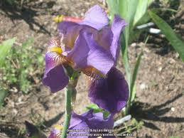 226 best Iris images on Pinterest