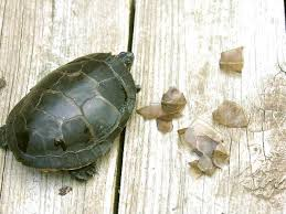 28 turtle excessive shell shedding general care of aquatic