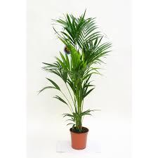 palmier d intérieur une oasis exotique à la maison botanic