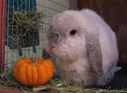 Can Bunny Rabbits Eat Pumpkin Seeds 61 best hoppy halloween bunny rabbits images on pinterest bunny