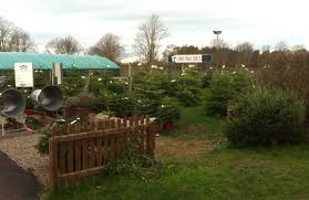 Nordmann Fir Christmas Tree Smell by Top Barn Produce Christmas Trees In Worcester England