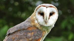 Barn Owl Close Up - YouTube How To Build A Barn Owl Nest Modern Farmer 33 Best Rescuing Wildlifemy Workmy Passion Images On Pinterest Boph Project Hampshire Bird Of Prey Hospital Chicks Youtube The Hide Prohides Photography Owls How Feed And Keep An Owlet Maya 20 Fun Facts About Trivia Bride Groom Wedding Cake Topper Paws News Three Beautiful Ashy Faced British Black Does Lookie Communicate With Me Owlhuman Love French Nows The Time Barn Owl Box Maintenance Lodi Growers