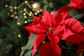 weihnachtsstern pflege so blüht er im nächsten jahr wieder