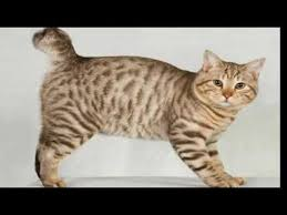 bobtail cat top 10 reasons to choose an american bobtail cat for your pet