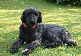 Portuguese Water Dog Non Shedding by Top 10 Dogs That Don U0027t Shed