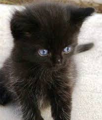 bombay cats 11 best bombay cats images on bombay cat cats and animals