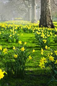 plant daffodils in fall and they bloom in the great thing