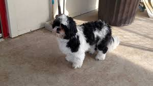 Toms River NJ Shih Tzu Meet Charlie a Dog for Adoption