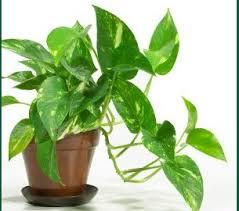plantes vertes d interieur entretenir une plante verte à la maison