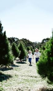 What Christmas Tree Smells The Best by Christmas Tree Man Supplies Delivers And Picks Up Christmas Trees