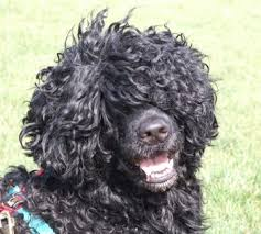 Portuguese Water Dog Non Shedding by About Us Portuguese Water Dog Breeder Charbr Portuguese Water Dogs