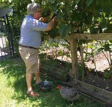 How To Make Grape Jelly (and Grow The Grapes)@judyschickens Small Plot Intensive Gardening Tomahawk Permaculture Backyard Vineyard Winery Grapes In Your Own Backyard Lifestyle Bucks County Courier More About The Regent Winegrape Growing Your Grimms Gardens Trellis With In The Yard At Home How To Grow Grapes Steemit Seedless Stark Bros Grape Orchards Pinterest Orchards Seattle Wa Youtube Grown Grape Vine And Trellis Stock Photo Royalty First Years Goal