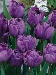 blue tulip bulbs bulk buy