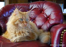 Do Maine Coons Shed Their Mane by Malcolm Is A Norwegian Forest Cat U2014 Cat Of The Vikings
