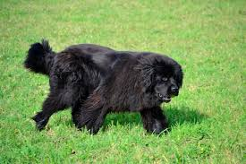 Low Shedding Big Dogs by The Most Popular Big Dog Breeds In America Pets Magicvalley Com