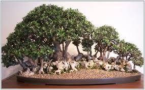 pot bonsai grande taille passions et partage le bonsaï