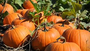 Pumpkin Patch Denver by 5 Best You Pick Farms For Fall Harvest In The Denver Area
