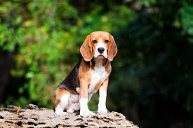 Quiet Small Non Shedding Dog Breeds by 35 Best Medium And Small Dogs For Kids U2013 Top Dog Tips