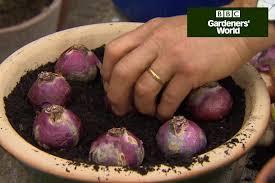 how to grow hyacinths for gardenersworld