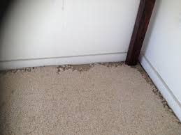 Carpet Weevil Pictures by We Treat For Carpet Beetle Quality Carpet Care And Pest Management