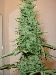 fin de floraison cannabis exterieur la floraison cannabis en fleur