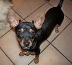 Do Miniature Doberman Pinschers Shed by Chipin Dog Miniature Pinscher Chihuahua Mix Info Pictures