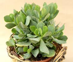 entretien plante grasse d interieur catina entretien plante grasse d interieur 4 plante d plante