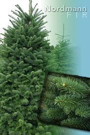 Nordmann Fir Christmas Trees Wholesale by Nordmann Fir Tree Christmas Trees From Stroupe Farms