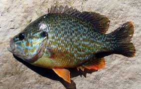 Pumpkin Seed Sunfish Pictures by Sunfish