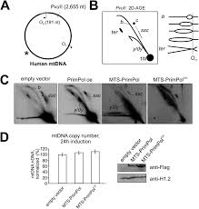 adresse si e social ratp primpol is required for replication reinitiation after mtdna damage