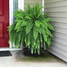 fern from walmart water daily and fertilize weekly with epsom