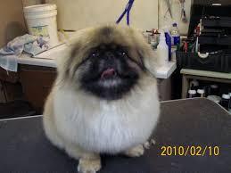 Non Shedding Husky Cross by Peek A Poo U2013 Fluff U0026 Dry Grooming Salon