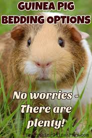 Pine Bedding For Guinea Pigs by Guinea Pig Bedding Options Everything Guinea Pigs