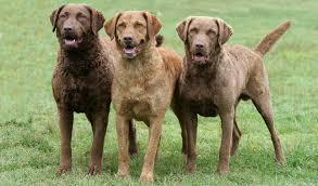 chesapeake bay retriever dog breed information