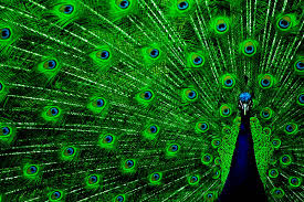 50 Best Beautiful Peacock HD Images Photos And Wallpaper Download