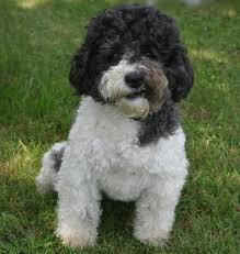 Top 10 Dogs That Dont Shed by Top 10 Dogs That Don U0027t Shed Bang Up Lists