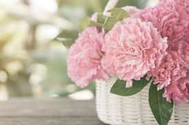 image of carnations Pink carnations in the basket with the morning