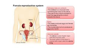 Shedding Of The Uterine Lining Is Called by Human Sexual Reproductive System By The End Of The Lesson We
