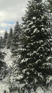 Christmas Tree Shop Florence Ky by 11 Christmas Tree Farms In Minnesota That Are Perfect For A Winter Day