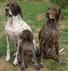 German Shorthaired Pointer Shed Hunter by German Shorthaired Pointer Wikipedia