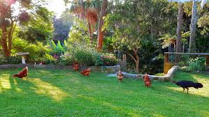 Chickens Return To Sydney Backyards - Living Local Guide Gender Id Australorp Leghorn Cross Hi From Sydney Backyard My New Flock Chickens Barnevelder Byc Member Interview Bantamlover21 Lilyfield Life Why I Keep Backyard Evans Chiensbackyard For Sale Sydneyphotos Retegrating A Recovered Hen To Small Flock 100 Whole Pet Family Intertional Black Copper Marans Thread Breeding The Sop Watch Hilarious Announcers Reaction As Deer Jump Onto Retrack