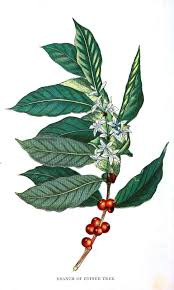 1317x2193 Coffee Bean Plant Drawing