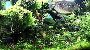 Forest Style Aquascape - YouTube Aquascape Of The Month June 2015 Himalayan Forest Aquascaping Interesting Driftwood Placement Aquascapes Pinterest About The Greener Side Aquascaping Design Checklist Planted Tank Forum Simons Blog Decoration Bring Nature Inside Home Ideas Downhill By Arie Raditya Aquarium 258232 Aquaria Creating With Earth Water Fire Air Space New Aquascapemarch 13 2016page 14 Page 8 Aquapetzcom Magical Youtube 386 Best Tank Images On Aquascape
