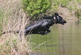 Best Hunting Dogs That Dont Shed by Bird Dog Breeds Florida Sportsman